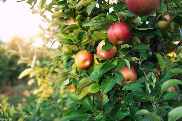 Drzewo gałąź z jabłkami w zachodzie słońca.