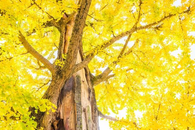 Drzewo ginkgo w japonii