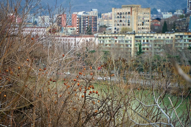 Drzewo granatu z owocami, na ulicy w tbilisi.