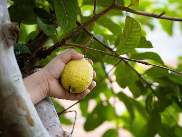 Drzewo Guawa Premium Zdjęcia