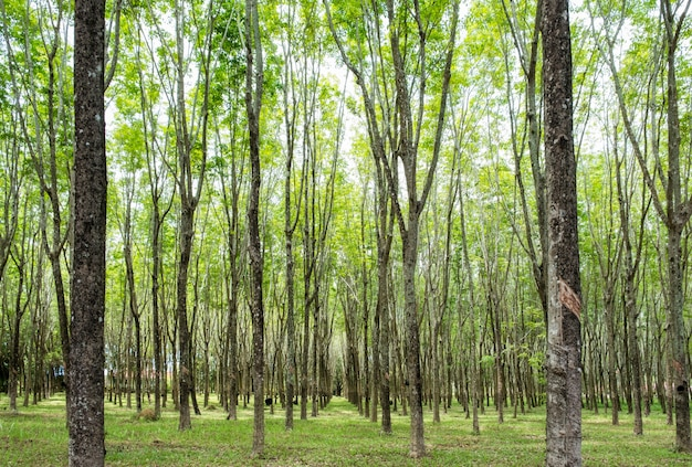 Drzewo gumowe, hevea brasiliensis w cienistej plantacji