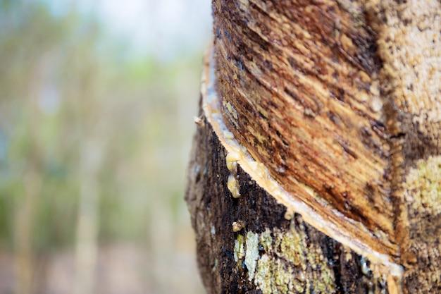 Drzewo gumowe z teksturą.