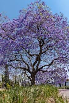 Drzewo jacaranda w drugiej części chapultepec w meksyku