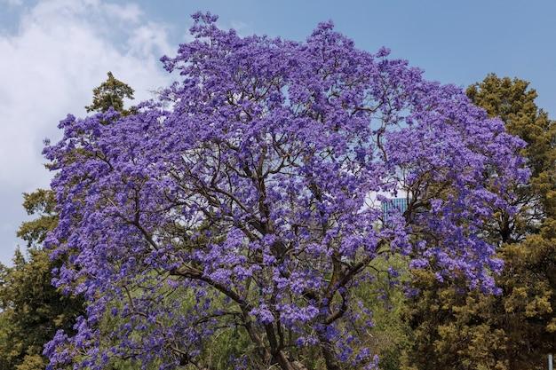 Drzewo jacaranda w mexico city z błękitnym niebem i zielonymi roślinami u podstawy