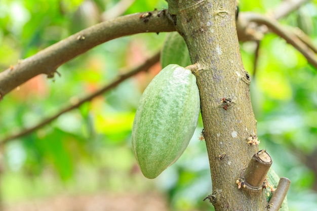 Drzewo kakaowe (theobroma cacao). ekologiczne strąki owoców kakao w naturze.