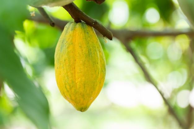 Drzewo kakaowe (theobroma cacao). organiczne strąki owoców kakaowych w przyrodzie.