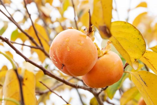Drzewo kaki z owocami kaki gotowymi do zbioru.