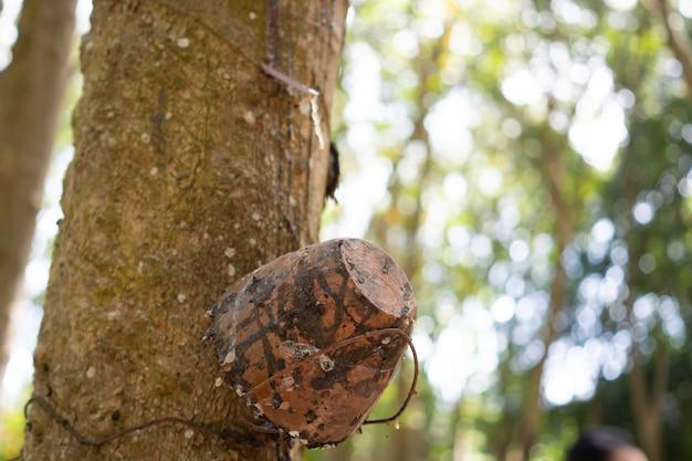 Drzewo kauczukowe (hevea brasiliensis) wytwarza lateks. za pomocą noża wyciętego na zewnątrz