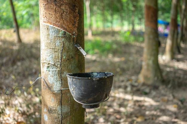 Drzewo kauczukowe (hevea brasiliensis) wytwarza lateks.