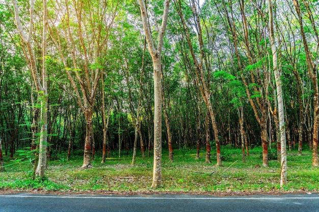 Drzewo kauczukowe para, plantacja kauczuku lateksowego i kauczuk