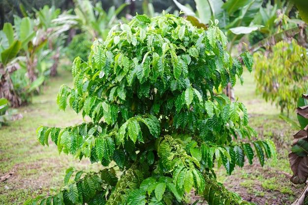 Drzewo kawowe robusta z kroplą rosy w ogrodzie kawowym