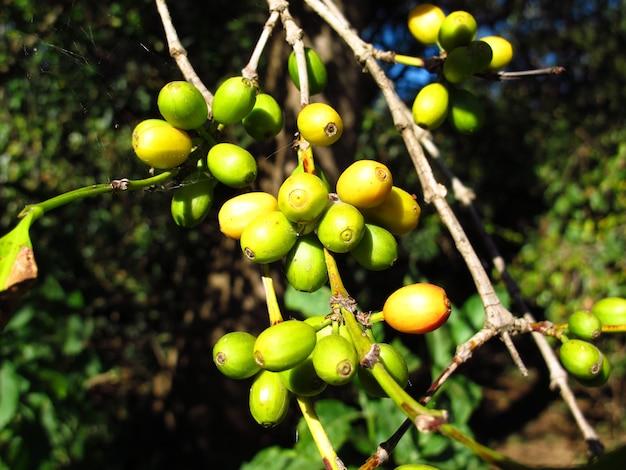 Drzewo kawowe w kraju etiopii