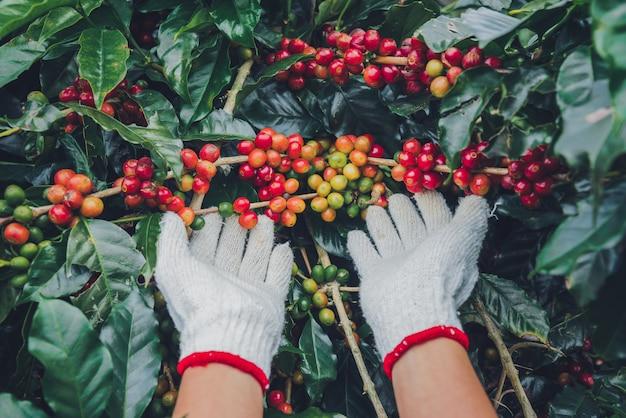 Drzewo kawowe z ziaren kawy na plantacji kawy, jak zbierać ziarna kawy. pracownik harvest arabica ziarna kawy.