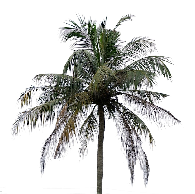 Drzewo kokosowe na białym tle