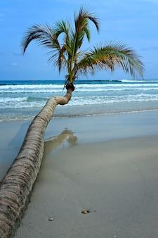 Drzewo kokosowe na tropikalnej plaży