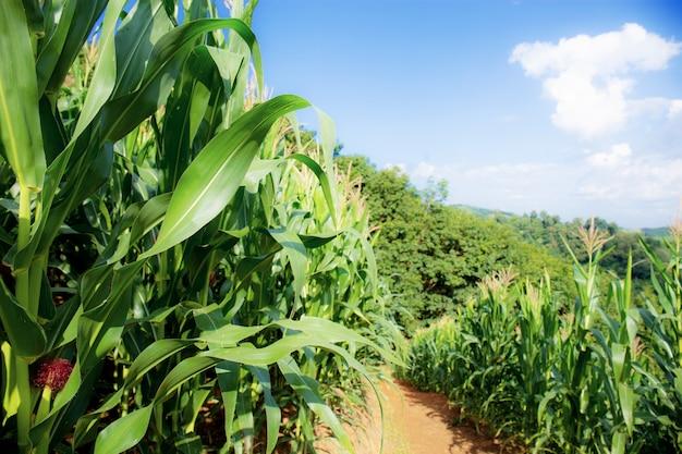 Drzewo kukurydzy na polu ze światłem słonecznym.