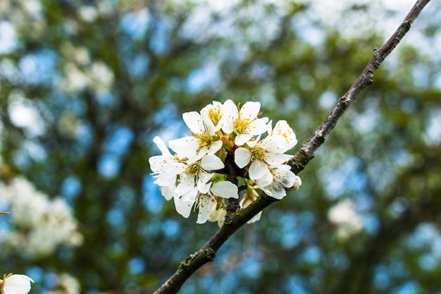 Drzewo kwitnącej jabłoni na wiosnę