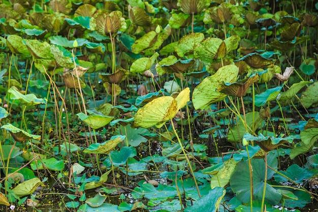 Drzewo lotosu i liście lotosu w lesie