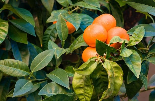 Drzewo mandarynkowe z dojrzałymi owocami. mandarynkowe drzewo pomarańczowe. mandarynka