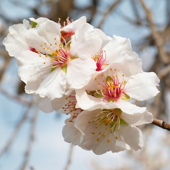 Drzewo migdałowe różowe kwiaty z gałęziami