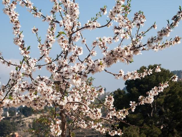 Drzewo migdałowe w rozkwicie z bliska widok na błękitne niebo