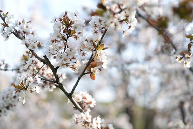 Drzewo moreli jabłoni kwitnie w przyrodzie w ogrodzie