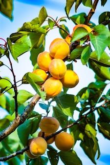 Drzewo morelowe z owocami rosnącymi w ogrodzie
