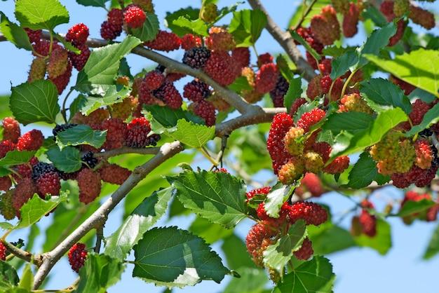 Drzewo morwy czarnej pokryte owocami