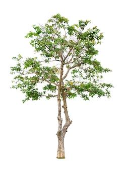 Drzewo na białym tle do wykorzystania w projektowaniu architektonicznym lub więcej.