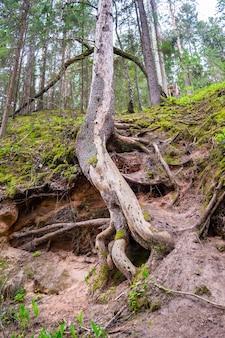 Drzewo na krawędzi urwiska przylegające do ziemi z korzeniami, koncepcja dzikiej przyrody i walka