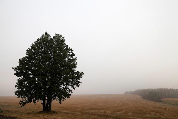 Drzewo na polu - jedno drzewo rosnące na polu, zamknij we mgle, jesień