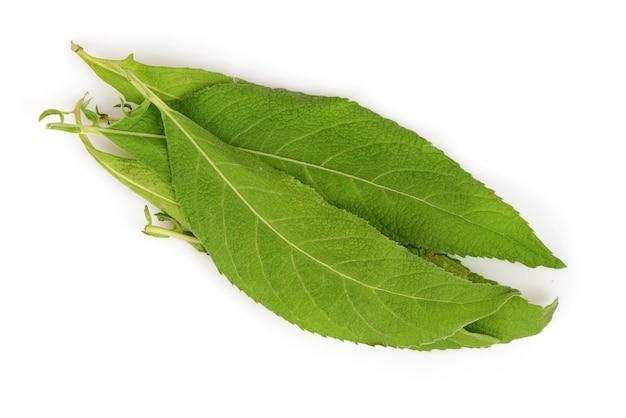 Drzewo ngai kamfora, zielone liście na białym tle.