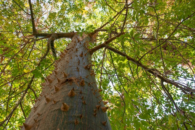 Drzewo nici jedwabnej chorisia speciosa
