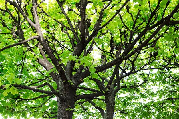 Drzewo o zielonych liściach, europejski charakter.
