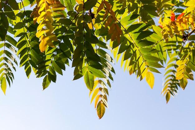 Drzewo o żółto-zielono-czerwonych liściach jesienią jesienią, zbliżenie na zdjęcie na tle błękitnego nieba w parku,