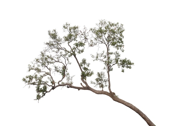Drzewo odizolowywający na białym tle. ścieżka przycinająca.