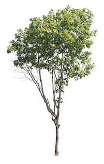 Drzewo odizolowywający na bielu