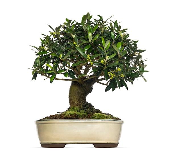 Drzewo oliwne bonsai, olea europaea, na białym tle
