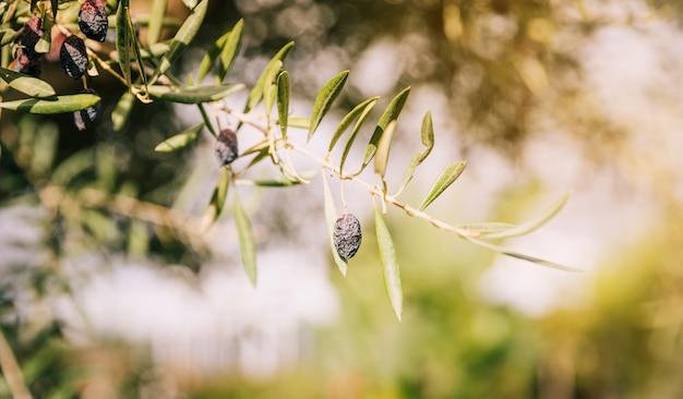 Drzewo oliwne gałąź z suchymi czarnymi oliwkami z selekcyjną ostrością