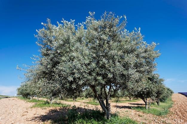 Drzewo oliwne i błękitne niebo