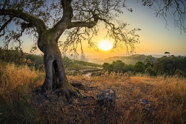 Drzewo oliwne o zachodzie słońca