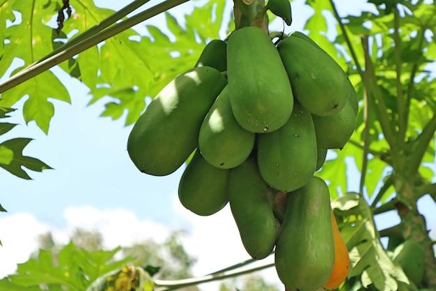 Drzewo papaja