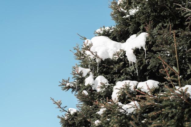 Drzewo pokryte śniegiem, szyszkami i soplami. słoneczny zimowy dzień w lesie.