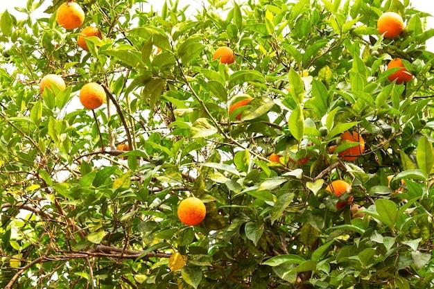 Drzewo pomarańczowe owoce pomarańczy na gałęziach drzewa w ogrodzie dojrzały plon owoców cytrusowych