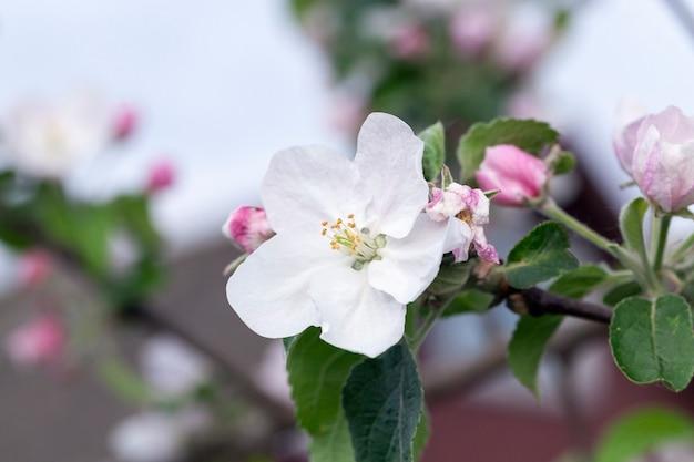 Drzewo, różowe pąki i kwiaty jabłoni rosnących w sadzie wiosną roku, w maju. zdjęcie zostało zrobione z bliska, mała głębia ostrości. błękitne niebo w tle
