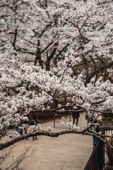 Drzewo różowy kwiat wiśni
