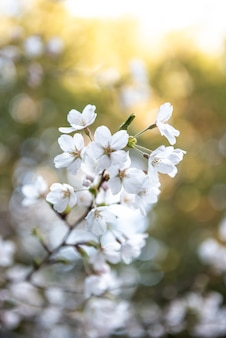 Drzewo sakura w japonii. kwitnący kwiat wiśni w ogrodzie na wiosnę.