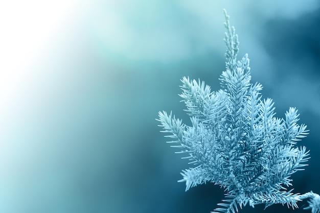 Drzewo sosnowe, zimozielony jałowca tle. boże narodzenie i zimowe tapety