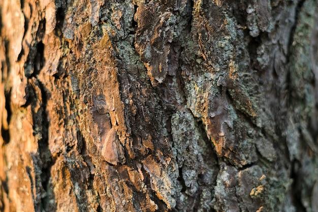 Drzewo sosny tekstury strony oświetlone przez słońce w lesie. kora drzew w lesie
