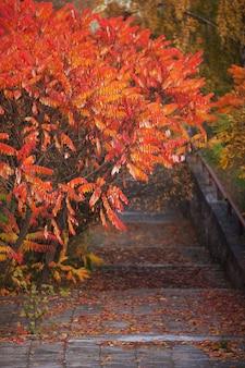 Drzewo sumach z liśćmi pomarańczy. jesienny krajobraz w parku ze schodami. jesienny czas